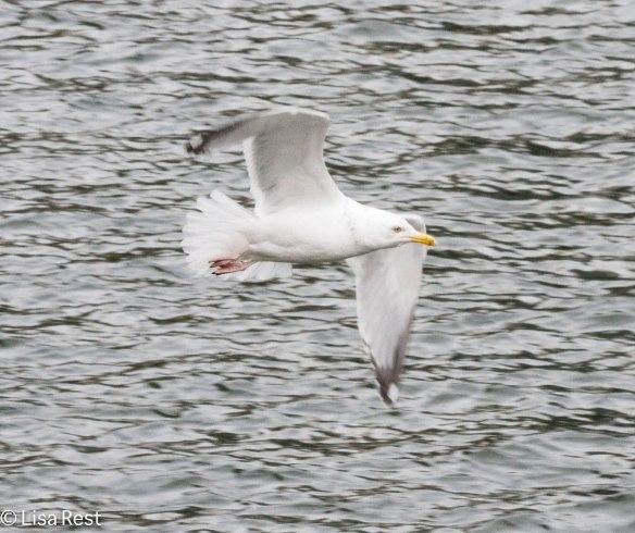 Herring Gull, Chicago River