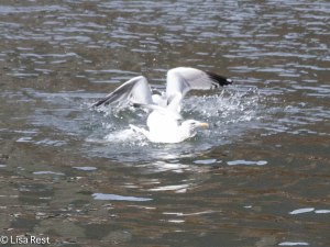 Herring Gulls Battling Over Fish 2-25-14 5930.jpg-5930