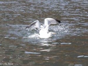 Herring Gulls Battling Over Fish 2-25-14 5930.jpg-5930