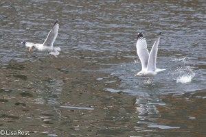 Herring Gulls Battling Over Fish 2-25-14 5932.jpg-5932