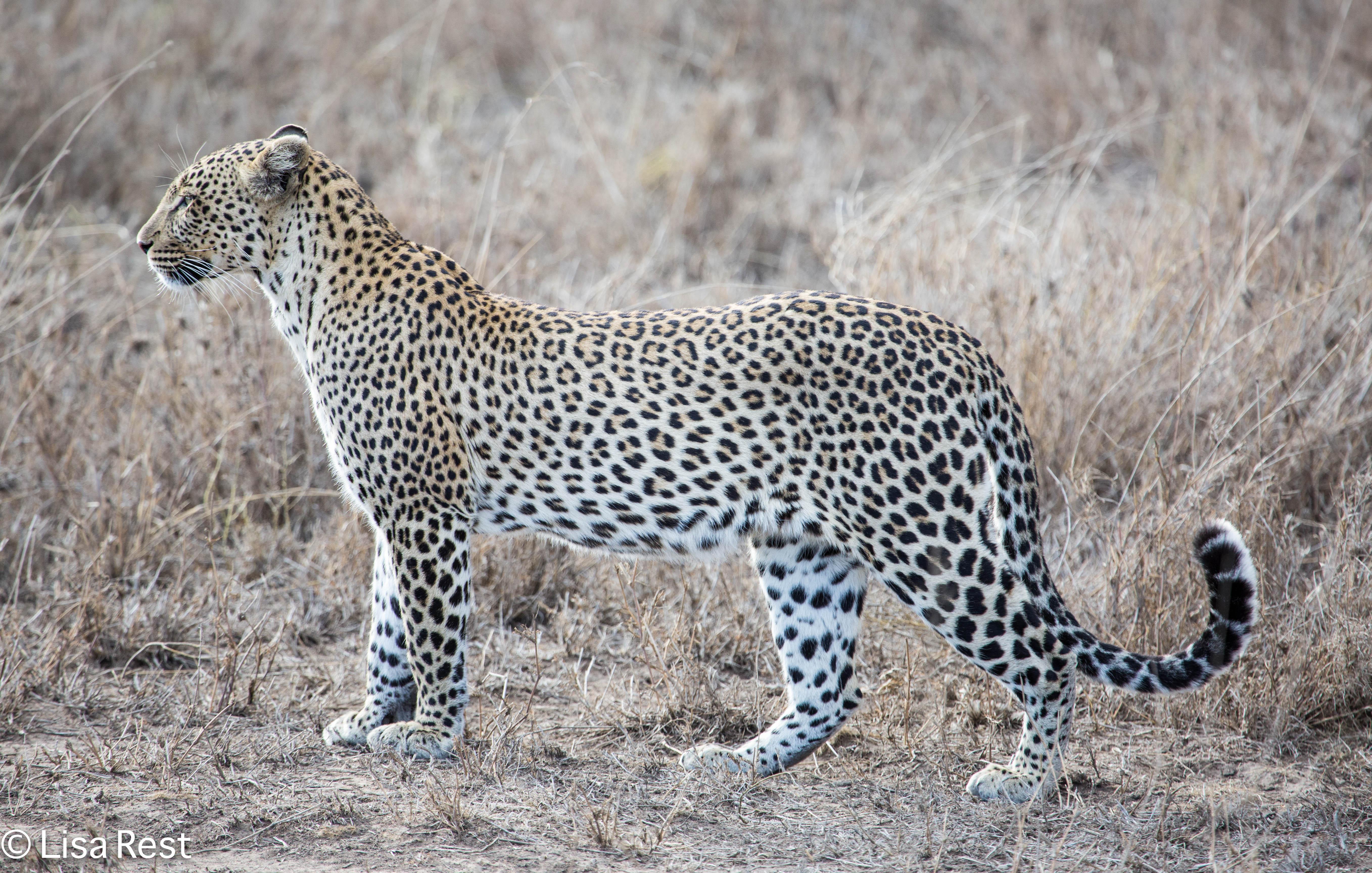 From Leopards to Bustards | Goldbird Variations | 5430 x 3456 jpeg 2250kB