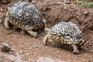 Leopard Tortoise Migration 1-24-13 8802.jpg-2