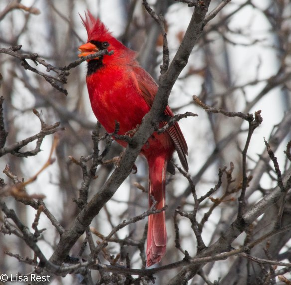 Male Cardinal Millennium 2-18-14 5730.jpg-5730