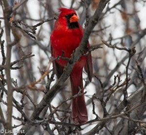 Male Cardinal Millennium 2-18-14 5745.jpg-5745