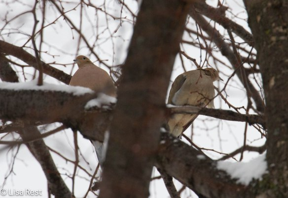 Mourning Doves in my neighbor's tree
