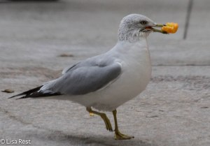 Ring-Billed Gull, downtown Chicago by the river