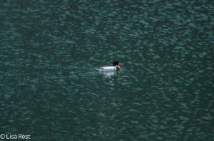 Red-Breasted Merganser on the Chicago River