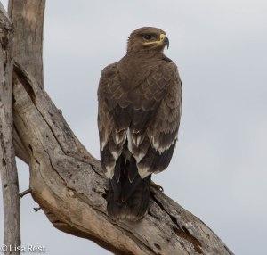 Steppe Eagle 1-26-13 9192.jpg-2