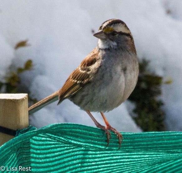 White-Throated Sparrow Millennium 2-18-14 5748.jpg-5748
