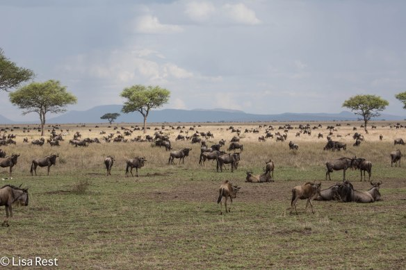 Wildebeest Migration 1-24-13 8790.jpg-2