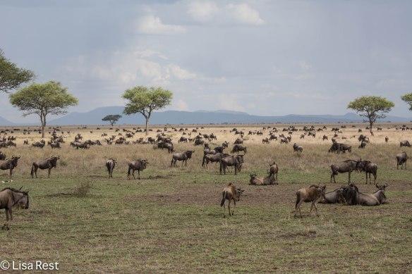 Wildebeest Migration 1-24-13 8790.jpg-2