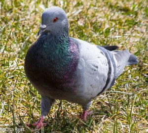 Blue Bar Rock Pigeon