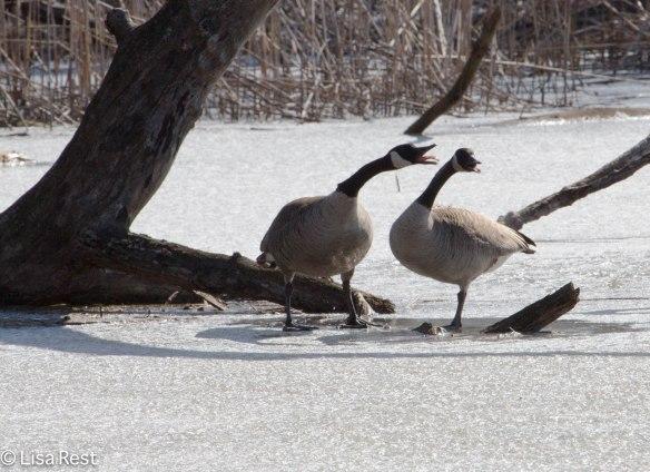 C Geese 3-23-14 5785.jpg-5785