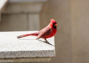 Northern Cardinal, Millennium Park