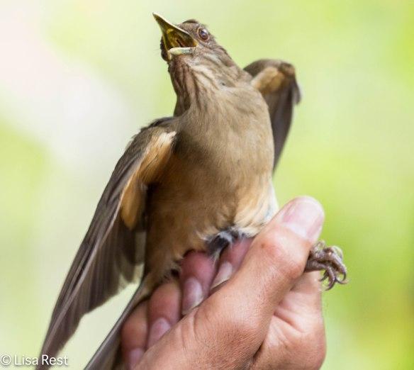 Clay-Colored Thrush, National Bird of Costa Rica