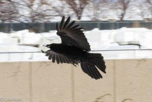Crow 3-3-14 6539.jpg-6539