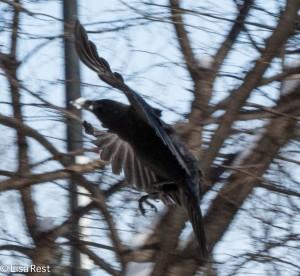 Crow 3-3-14 6540.jpg-6540