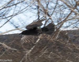 Crow 3-3-14 6542.jpg-6542