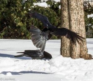 Crow 3-3-14 6544.jpg-6544