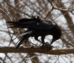 Crow with Peanut 3-21-14 7157.jpg-7157