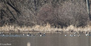 Ducks McGinnis Slough 3-30-14 5869.jpg-5869