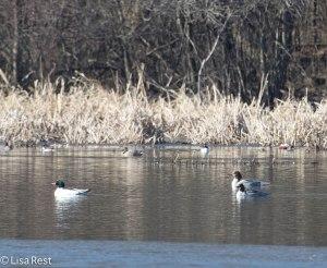 Ducks McGinnis Slough 3-30-14 5875.jpg-5875