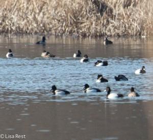 Ducks McGinnis Slough 3-30-14 5880.jpg-5880
