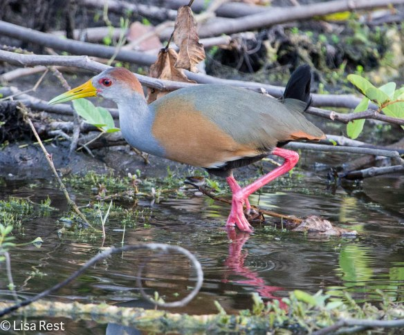 Gray-Necked Wood-Rail, Belize, March 9, 2014