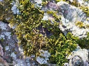 Lichens 3-30-14 7358.jpg-7358