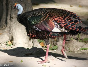 Ocellated Turkey 3-7-14
