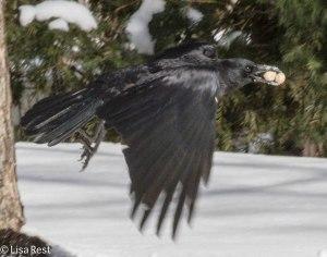 Peanut Crow 3-3-14 6513.jpg-6513