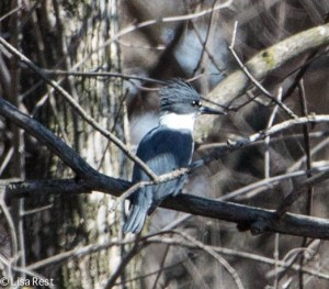 Portage Belted Kingfisher 3-30-14 5962.jpg-5962