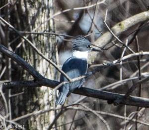 Portage Belted Kingfisher 3-30-14 5962.jpg-5962