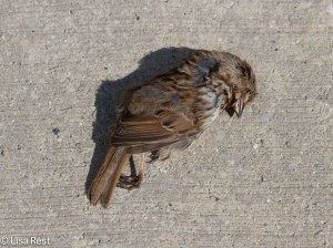 Song Sparrow on the sidewalk at 155 N. Wacker on 3-20-14