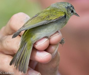 Tennessee Warbler banded 3-9-14