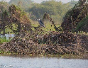 Black-Crowned Night Heron 3-12-14 4496.jpg-4496