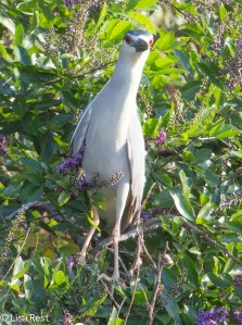 Black-Crowned Night Heron 3-12-14 4551.jpg-4551