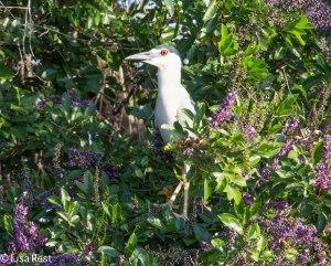Black-Crowned Night Heron 3-12-14 4571.jpg-4571