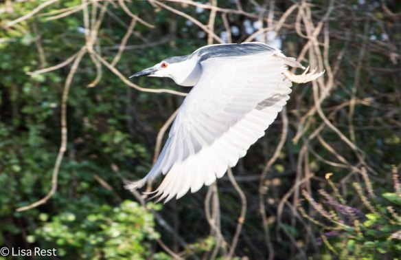 Black-Crowned Night Heron 3-12-14 4582.jpg-4582