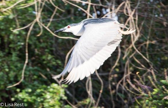Black-Crowned Night Heron 3-12-14 4582.jpg-4582