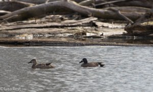 Blue-Winged Teal, Chicago Portage