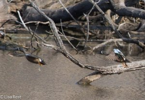 Blue-Winged Teal 4-13-14 6668.jpg-6668