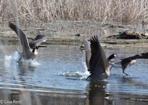 C Geese Portage 7039.jpg-7039