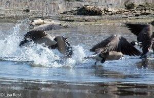 C Geese Portage 7040.jpg-7040