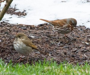 Hermit Thrush and Fox Sparrow