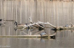 Goose with Turtles 4-13-14 6672.jpg-6672