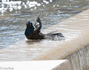 Grackle Bath 4-17-14 8123.jpg-8123