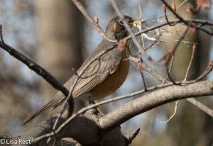 Robin with nesting material, Ottawa Trail