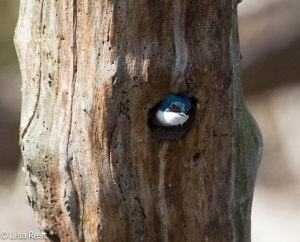 Tree Swallow Nest Portage 6957.jpg-6957