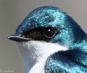 Tree Swallow Portage 6972.jpg-6972